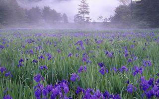 Фото бесплатно поле, цветы, ирисы