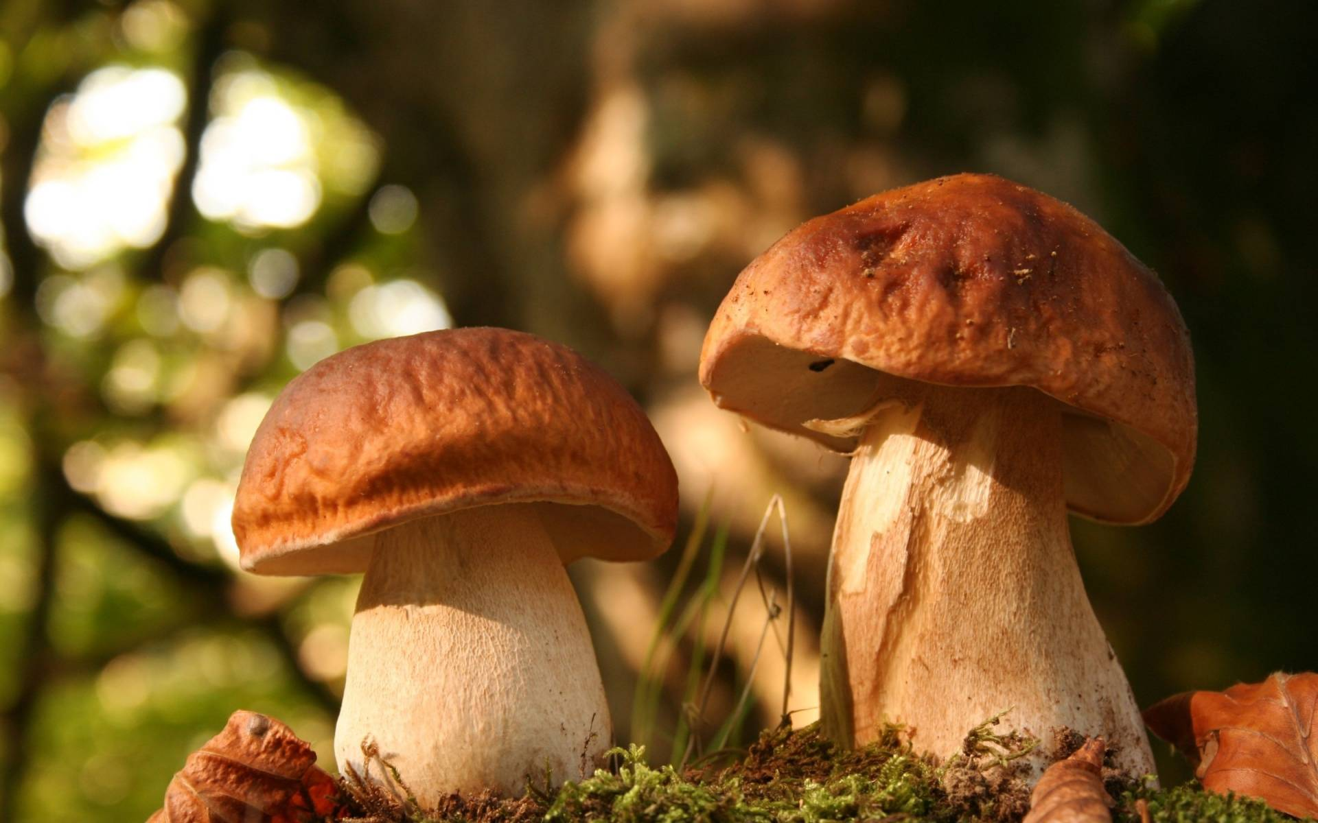 Обои на рабочий стол осень с грибами