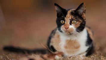 Фото бесплатно пятнистый кот, наблюдатель