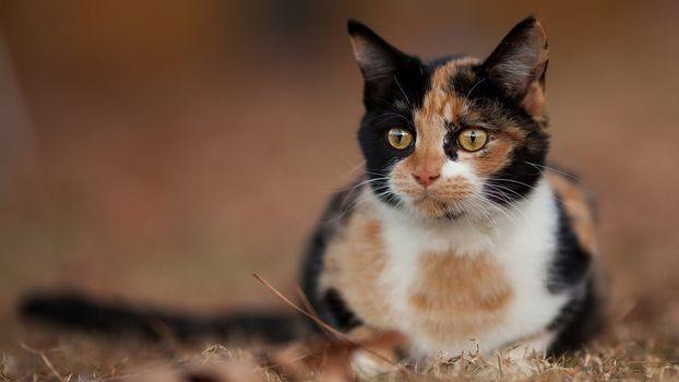 Заставки пятнистый кот, наблюдатель