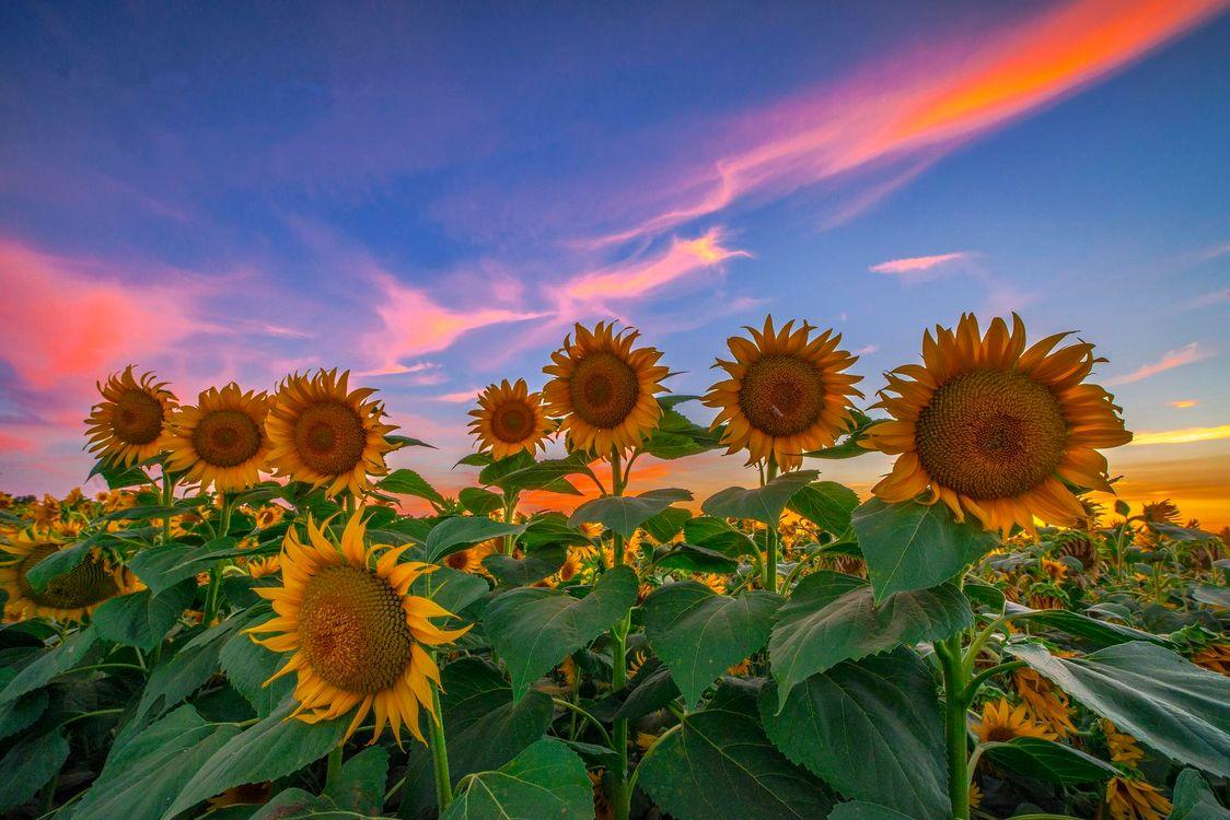 Фото бесплатно закат, поле, подсолнухи, цветы, пейзаж, пейзажи