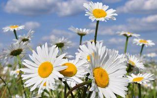 Бесплатные фото поле,ромашки,лепестки,белые,тычинки,желтые,стебли