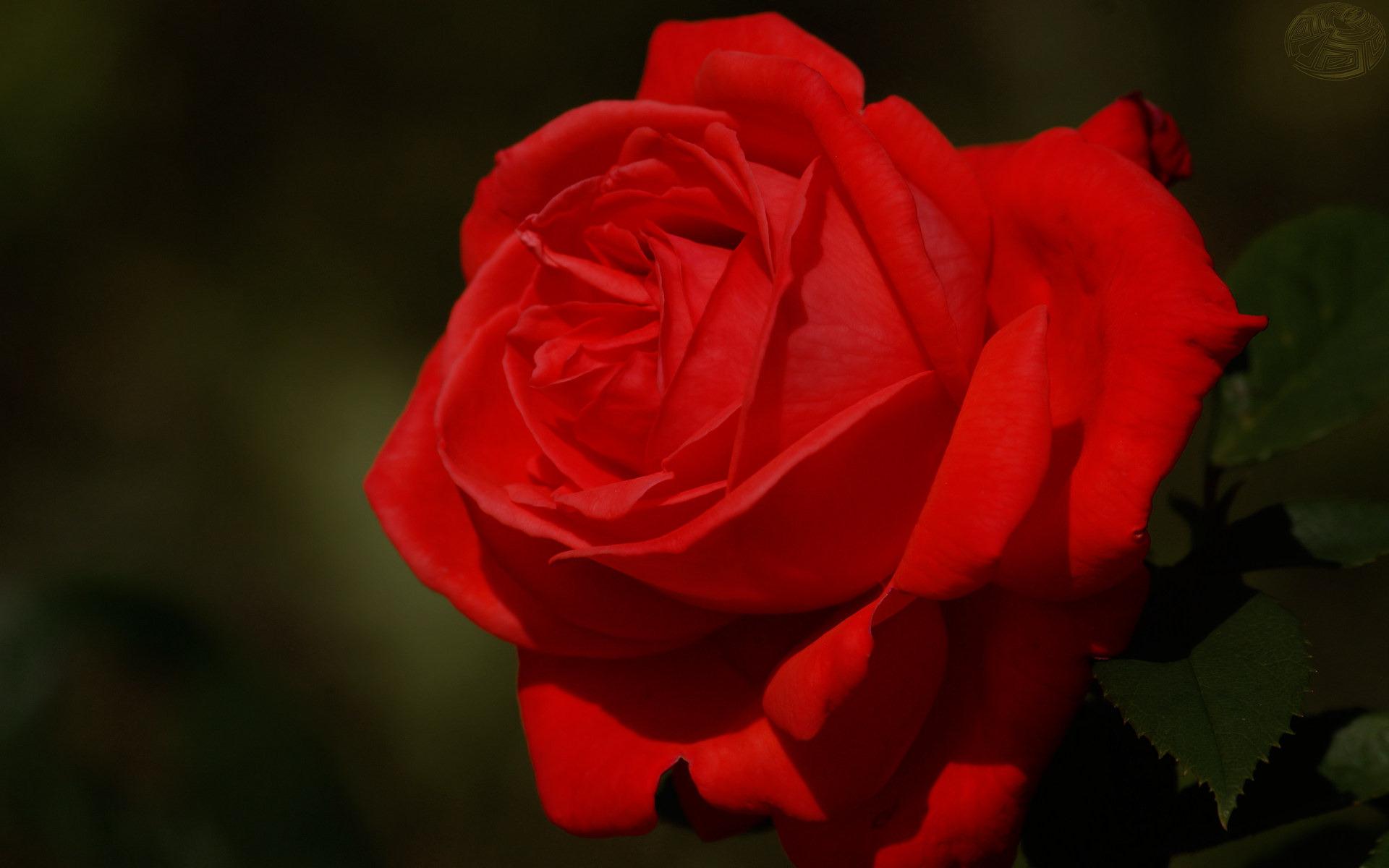 Обои роза, лепестки, красные, листья