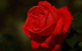 Бесплатные фото роза,лепестки,красные,листья,зеленые