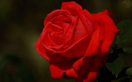 Photo free rose, petals, red
