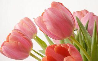Бесплатные фото тюльпаны,лепестки,розовые,стебли,листья,фон белый