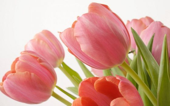 Photo free pink, tulips, leaves