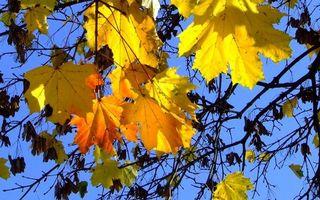 Бесплатные фото дерево,клен,ветви,листья,желтые,небо