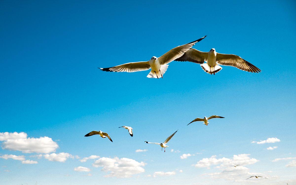 Фото бесплатно чайки, крылья, перья, клювы, лапы, полет, небо, облака, птицы