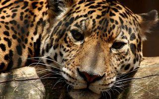 Бесплатные фото леопард,хищник,морда,глаза,усы,шерсть