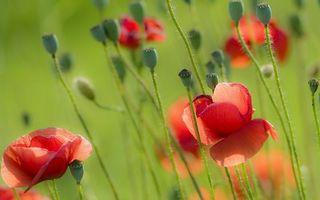 Фото бесплатно макм, лепестки, красные
