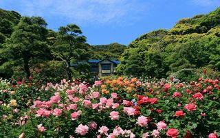 Обои розы, дом, деревья, япония, лес