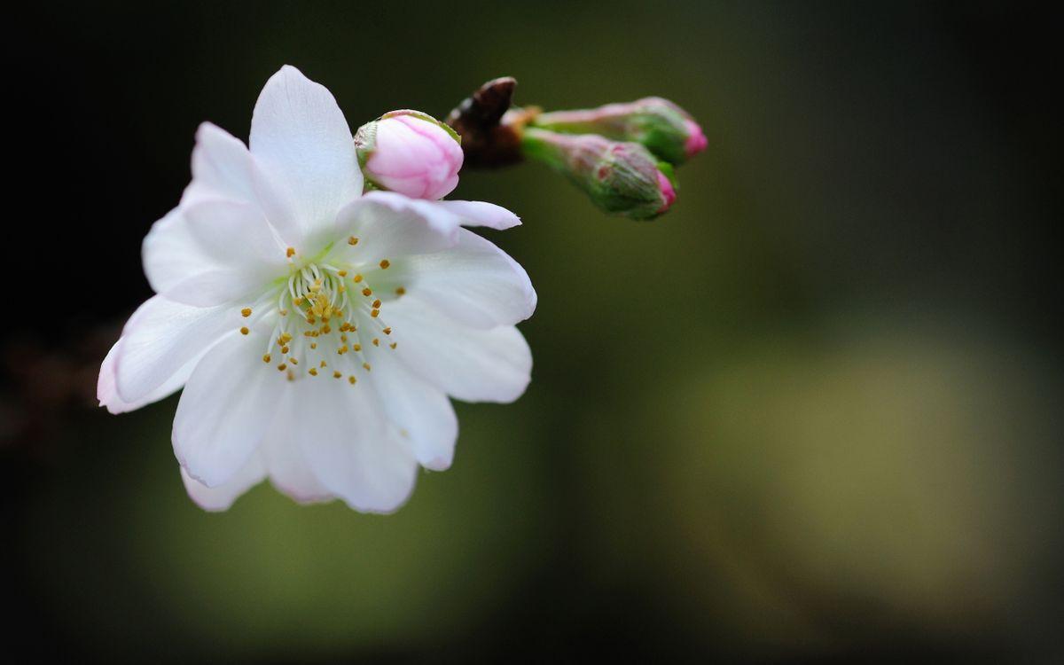 Фото бесплатно цветы, бутоны, розовые, лепестки, белые, пестики, тычинки - на рабочий стол