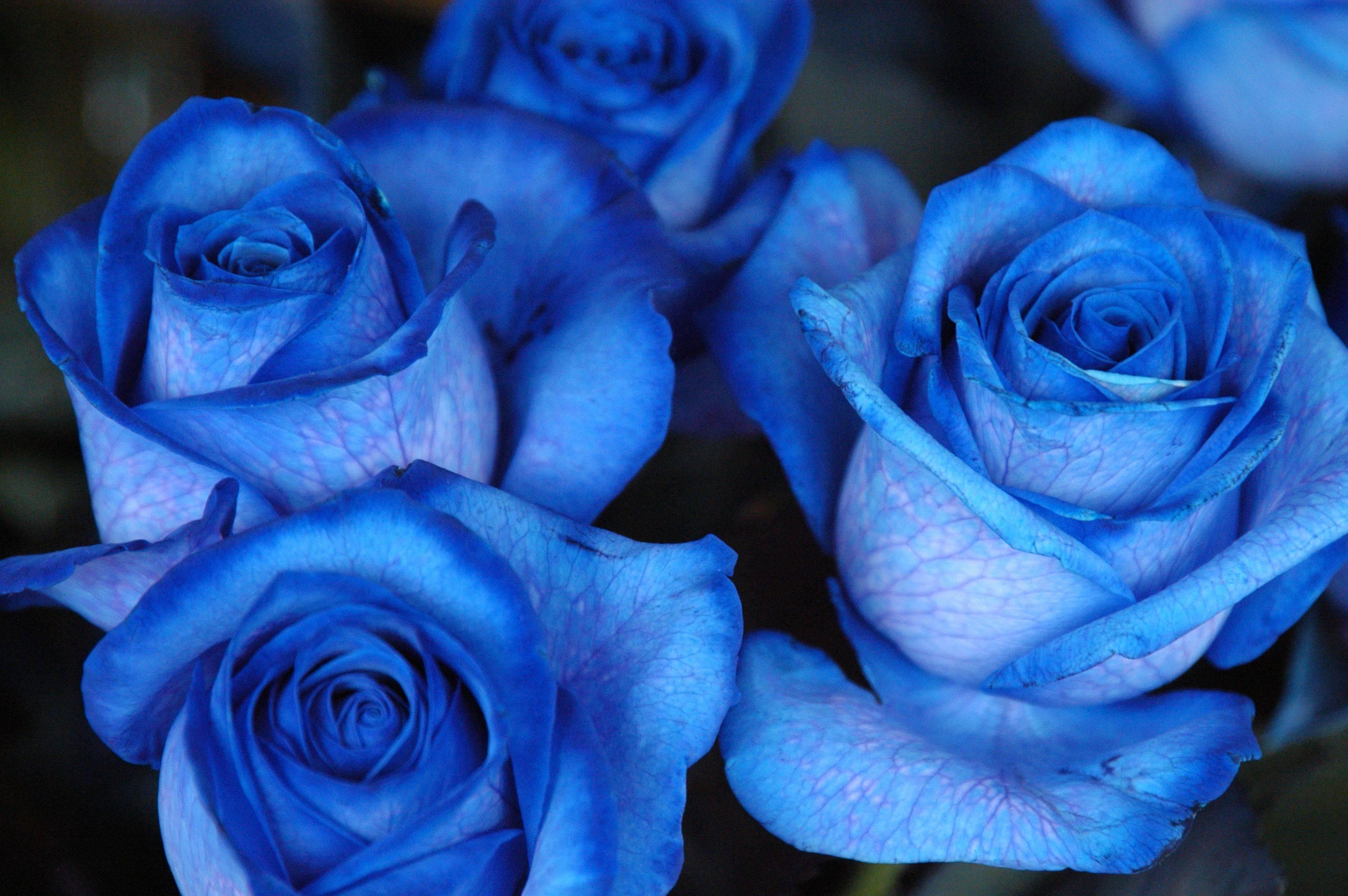 Цветы розы синие красивые