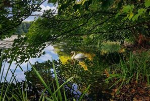 Заставки река, деревья, лебедь