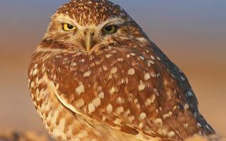 Бесплатные фото совенок,взгляд,крылья,поле