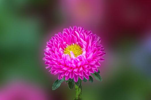 Photo free Aster Flower, Aster, close-up