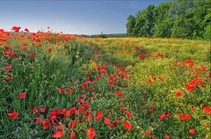 Photo free poppies, field, trees