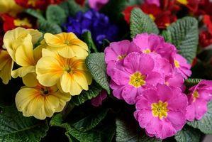 Фото бесплатно Примула, Макро, Первоцвет, Цветы, флора