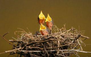 Бесплатные фото гнездо,ветки,птенцы,клювы,желтые,крик