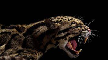 Бесплатные фото Дикая большая кошка,оскал,клыки,пасть
