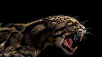 Фото бесплатно Дикая большая кошка, оскал, клыки, пасть
