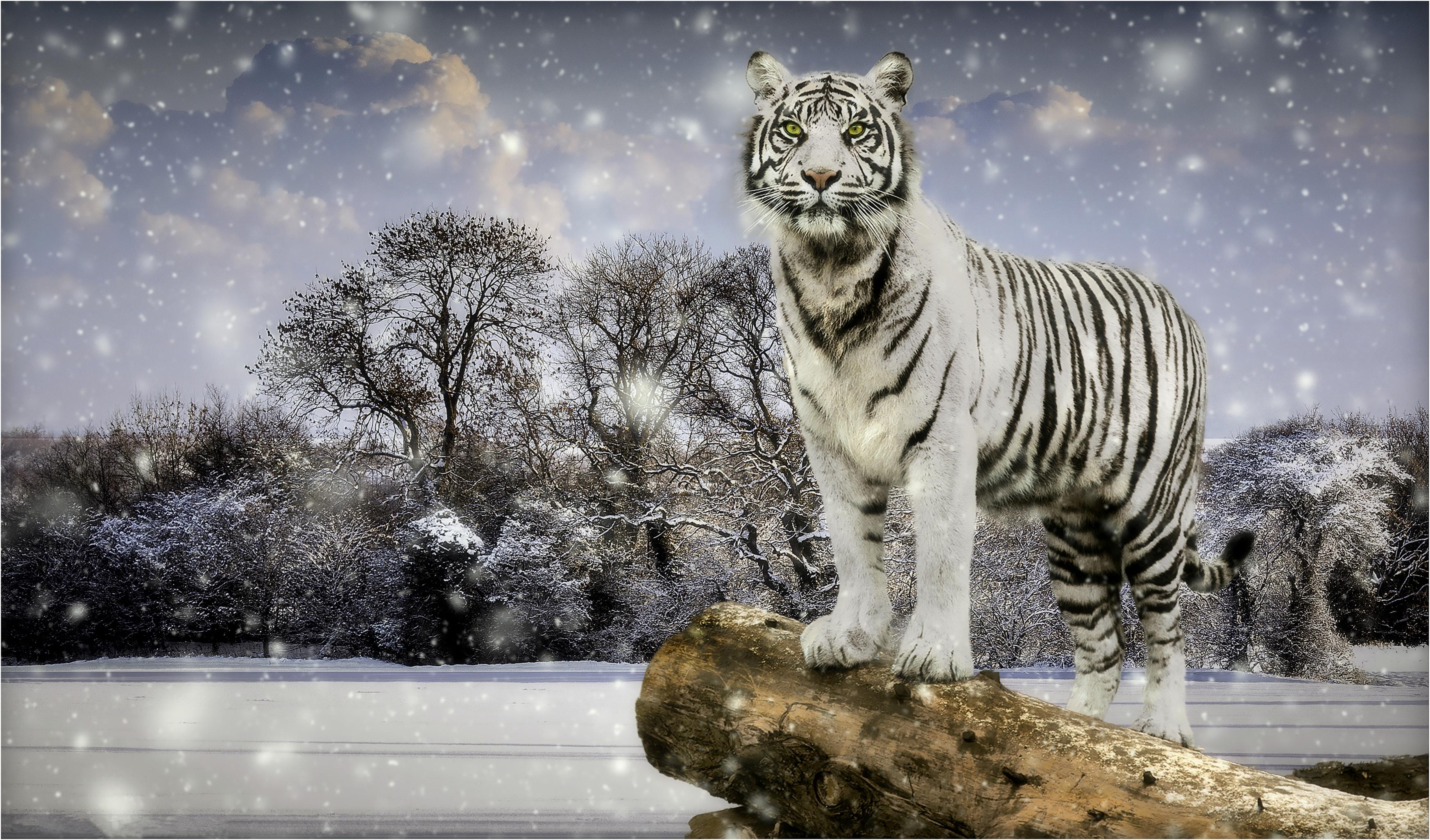 обои зима, снег, белый тигр, хищник картинки фото