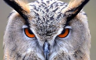 Photo free Eagle owl, head, look
