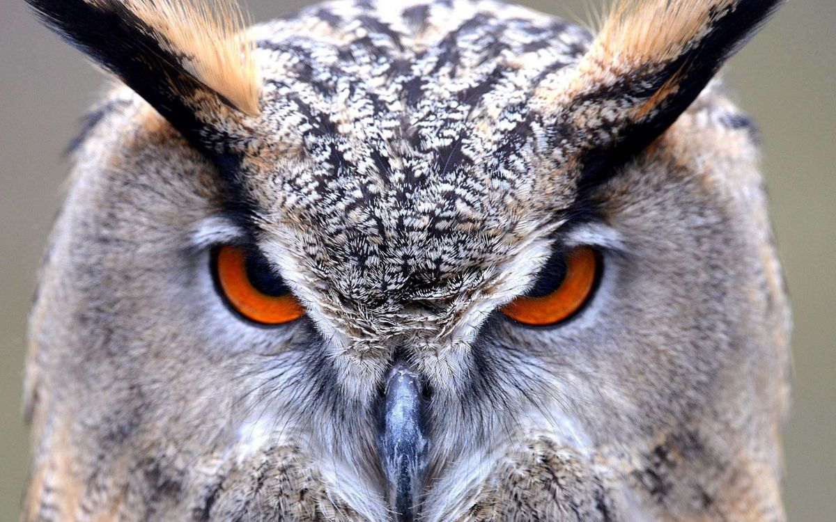 Free photo Eagle owl, head, look - to desktop