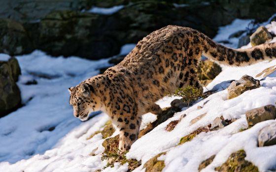 Фото бесплатно снежный барс, снег, гора