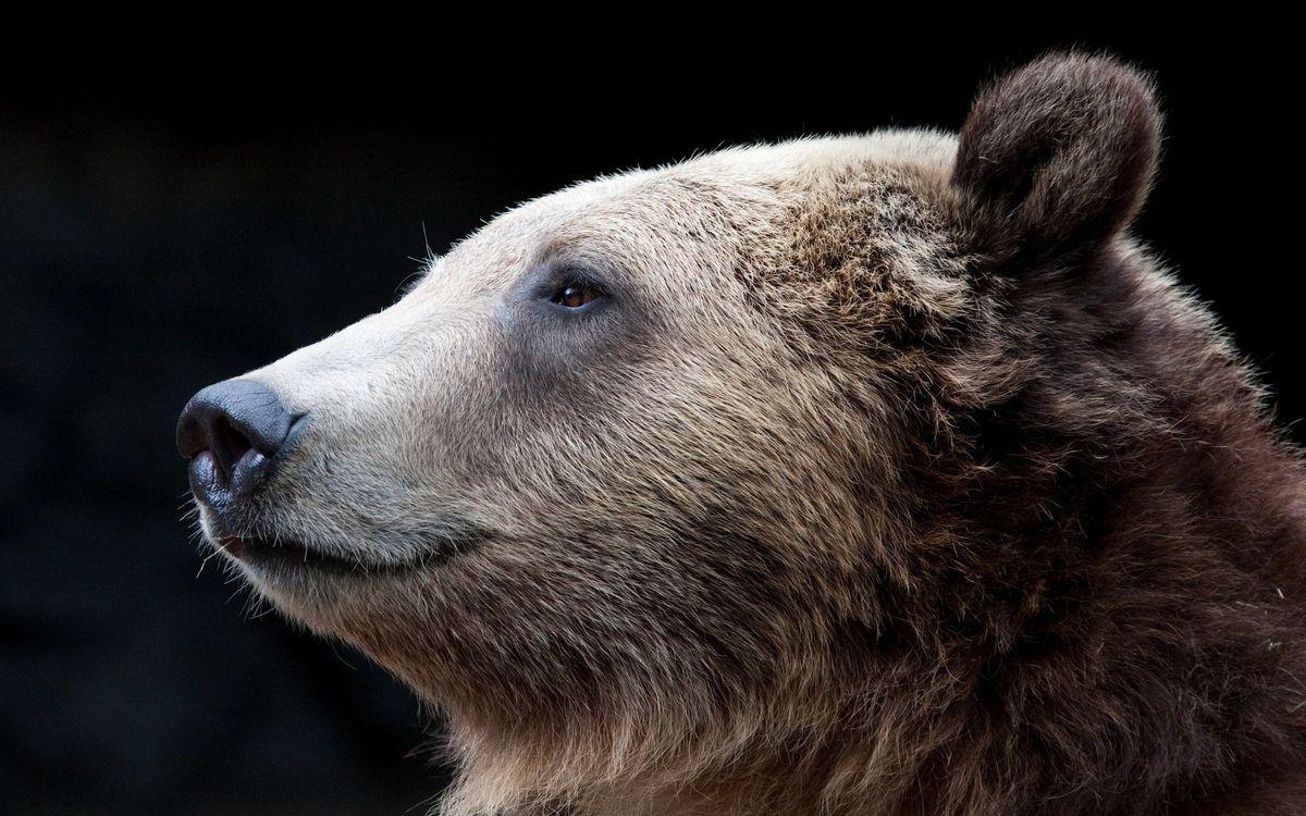 Фото бесплатно медведь, морда, глаза, нос, уши, шерсть - на рабочий стол