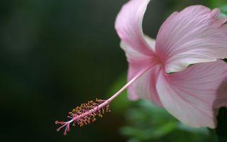 Фото бесплатно цветок, лепестки, розовые, пестик, длинный, тычинки