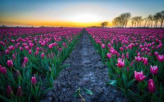 Бесплатные фото закат,поле,тюльпаны,цветы,Голландия,пейзаж