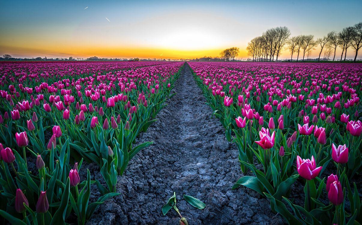 Фото бесплатно закат, поле, тюльпаны, цветы, Голландия, пейзаж, пейзажи