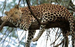 Бесплатные фото леопард,шерсть,окрас,пятна,отдыхает,дерево,ветви