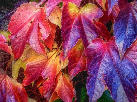 Бесплатные фото листья,листва,виноградные листья