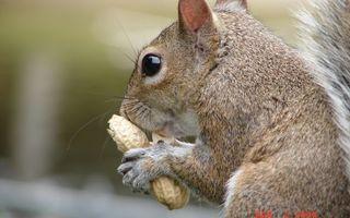 Бесплатные фото белка,морда,хвост,шерсть,лапы,орех