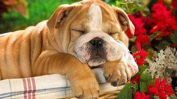 Бесплатные фото бульдог,щенок,спит,морда,лапы,шерсть,цветы