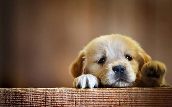 Фото бесплатно щенок, грусть, лапки