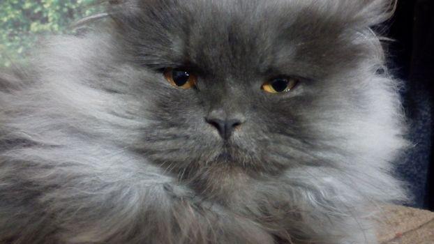 Фото бесплатно Кузя, кот, перс
