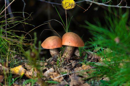 Фото бесплатно подосиновики, шляпки, грибы