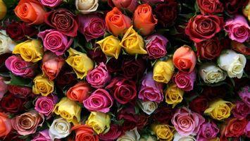 Бесплатные фото розы,бутоны,лепестки,разноцветные,листья