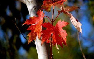 Бесплатные фото дерево,ствол,ветки,листья,красные