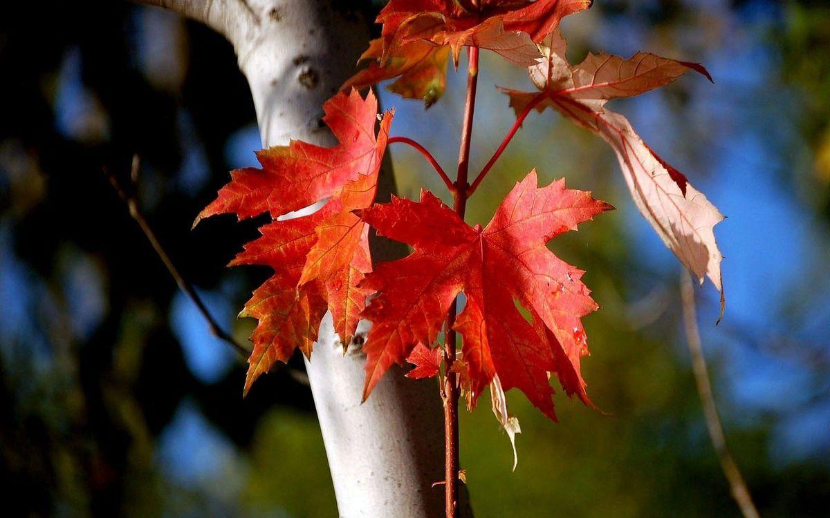 Фото бесплатно дерево, ствол, ветки, листья, красные, природа