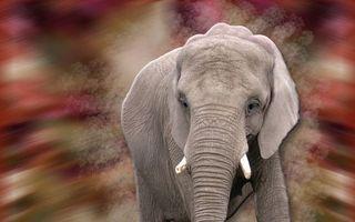 Бесплатные фото слон, морда, хобот, бивни, уши, фон размыт