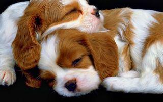 Фото бесплатно собаки, щенки, спят, морды, уши, лапы, шерсть