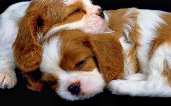 Бесплатные фото собаки,щенки,спят,морды,уши,лапы,шерсть