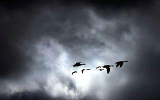 Бесплатные фото гуси,косяк,полет,крылья,небо,тучи