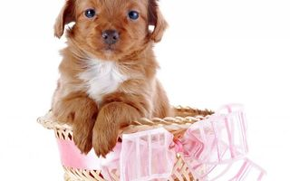 Бесплатные фото щенок,морда,лапы,шерсть,корзинка,бант