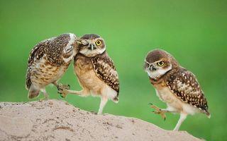 Фото бесплатно три совы, камень, сова, семья